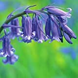 100 True English Bluebell Bulbs Hyacinthoides non-scripta Free P&P