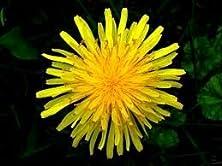 """buy (Heda)~""""Dandelion""""~Seed!!~~~~~Great Herb!"""