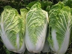 MICHIHILLI CABBAGE CHINESE VEGETABLE BOK CHOY SEEDS 50 SEEDS BY DIVYA SEEDS