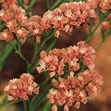 Limonium sinuatum Qis 'Apricot' / Statice / Seeds