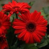 Plants Guru Gerbera Red
