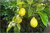 Lj4S - Citronnier Des 4 Saisons