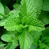 Plants Guru Peper Mint Plant