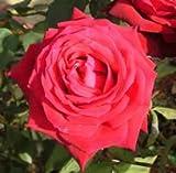 Apuldram Roses