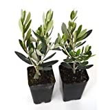 Olive Tree of Peace Olea Europaea 2 Pack Greek Plant Live Garden 2.5