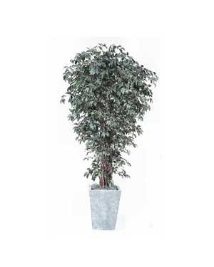 Silk Trees, Ficus Liana – 7 Ft.