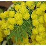 Bashfulgrass Seeds,Mimosa Pudica Linn, Foliage Mimosa Pudica Sensitive - 30 Seed Particles