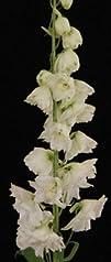 Delphinium Hybrid White 80cm to 90cm 5 stem bunch White River