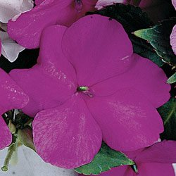 Buy Impatiens Sunny Lady Lavender Blue Hybrid – Park Seed Impatiens Seeds