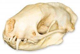 Striped Skunk Skull (Teaching Quality Replica)