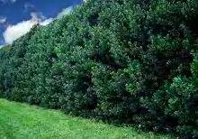 Ilex 'Nellie R Stevens' Evergreen Holly Shrub/ Tree 4.5 inch pot