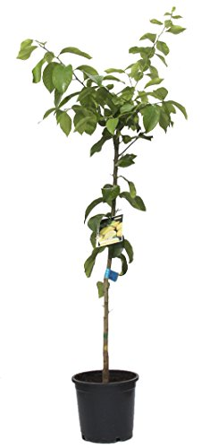 outlet-garden-limonero-citrus-limon-arbol-citrico-natural-altura-130-metros-aproximado-contenedor-22