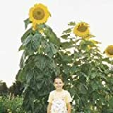 "*Seeds and Things Skyscraper Sunflower 50 Seeds The Giant ""12 feet tall"" that will Impress your neighbors and Easy for kids to grow."