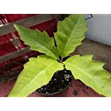 Size 2 Northern Red Oak Trees - Quercus rubra - 3 Sizes - Spring Planting
