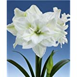 Amaryllis - Double White ~ Set of 2 Bulbs ~ It's An Amaryllis!