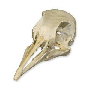 Amazon.com: Pigeon Skull (Natural Bone Quality A
