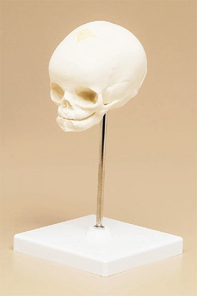 3B Scientific Fetus Skull Model; Plastic; Life-Size; Nondissectible; With Stand