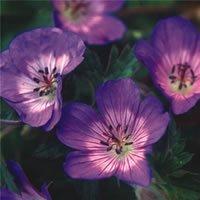 geranium-wallichianum-buxtons-blue-seeds