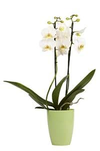 "Topfplanze ""Orchidee weiß"" incl. dekorativem Übertopf"