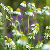 Buy Organic German Chamomile Herb 160 Seeds – Matricaria recutita – Perennial/Flower – FREE SHIPPING ON ADDITIONAL HIRTS SEEDS