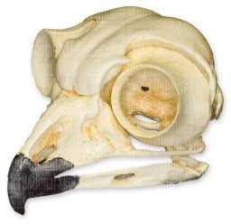 Great Horned Owl Skull (Teaching Quality Replica)