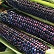 HEIRLOOM FLINT CORN - BLUE HOPI - 20 SEEDS - ORGANIC