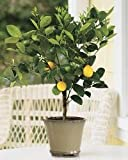 2-3 Year Old Improved Meyer Lemon Tree in Growers Pot, 3 Year Warranty