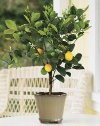 2-3 Year Old Improved Meyer Lemon Tree in Grower's Pot, 3 Year Warranty
