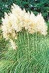 PAMPAS GRASS White Feather - Garden P...