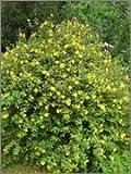 BM Plants Hypericum 'Hidcote' AGM , 2L , St. John's Wort , Shrub