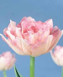 Tulip - Double Late - Angelique Fall Flower Bulb - Pack of Six