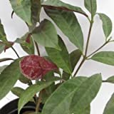 Plants Guru Exoecaria Bicolor