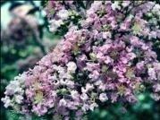 Crape Myrtle Muskogee Tree ~Lavender flower~