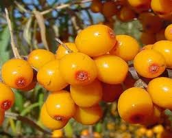 Hinterland Trading Sea Buckthorn Berry Seeds 10+ Rare Seeds
