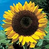 SUNFLOWER - GIANT Yellow 3 metre plus - 40 seedsby Haddons
