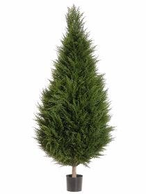 6' Canadian Cypress Tree TP266