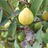 Plants Guru Guava L49