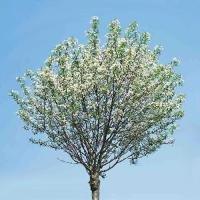 kugel steppenkirsche prunus fruticosa 39 globosa 39 cac. Black Bedroom Furniture Sets. Home Design Ideas
