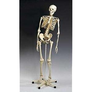 Skeleton Deluxe Classroom Model Flexible Spine: Animal Anatomical