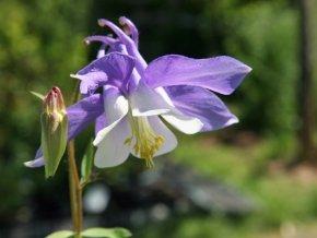 Miniatur-Akelei 'Cameo Blau-Weiß' - Aquilegia flabellata 'Cameo Blau-Weiß' - Kleinwüchsige weiß-blaue Gartenstaude