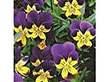 Viola Tricolor (Heartsease) Seeds by T and M