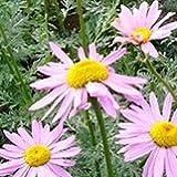 【耐寒性】【多年草】 クリサンセマム ロビンソン ピンク  2株セット 【イングリッシュガーデン】