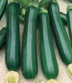 Premier Seeds Direct ORG038 Courgette Verde Di Milano Organic Seeds (Pack of 20)