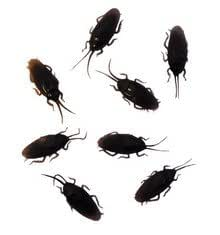 Fake Cockroaches ( Box of 25)