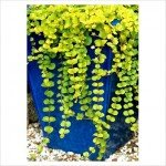 5 TRAILING LYSIMACHIA PLUG PLANTS (CREEPING JENNY)