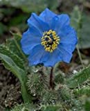 50 Poppy Flower Seeds. Himalayan Blue Poppies. Meconopsis Betonicifolia. One Stop Poppy Shoppe® Brand.
