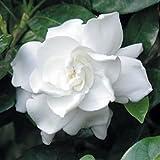 50 GARDENIA / CAPE JASMINE Jasminiodes White Shrub Flower Seeds *Comb S/H