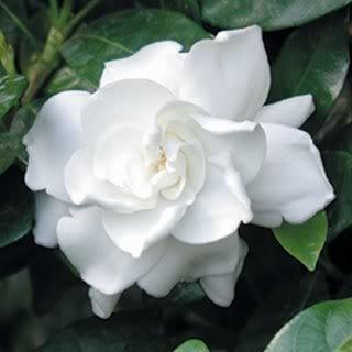 50 Jasmine Gardenia Seeds Extreamly Fragrant / Free Shipping