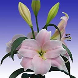40 Fresh Cut Pink Asiatic Lilies | 24-28 Inches Long Stem | Fresh Flowers Express Delivery | Perfect for Birthdays, Anniversary or any occasion.