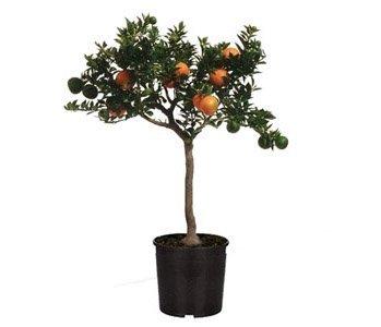 arbuste-chinotto-agrume-sur-tige